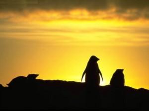 pinguinos atardecer