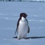pinguinos adelie