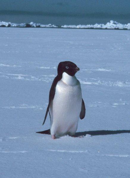 Pingüinos adelie » PINGUINOPEDIA