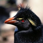 Rockhopper pinguino