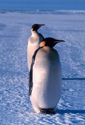 Pingüinos En Peligro De Extinción Pinguinopedia