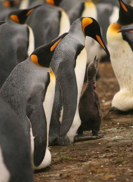 pinguinos rey