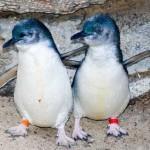 pequeno pinguino azul