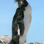 pinguino macaroni