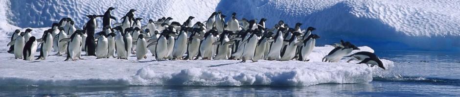 Los pinguinos migran en primavera y lo hacen en masa - Edit