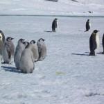 pinguinos crias